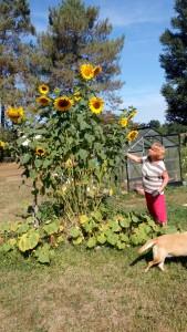 3 Wochen später - Sigis Monster -Sonnenblumen