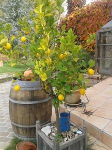 unsere Bio-Zitronen