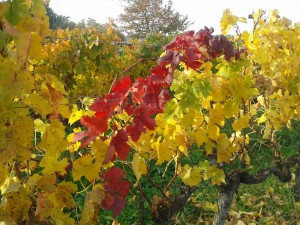 Weinlaub in tausend Farben
