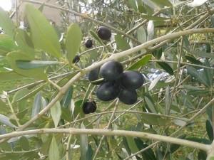 bald gibt es eigene Oliven