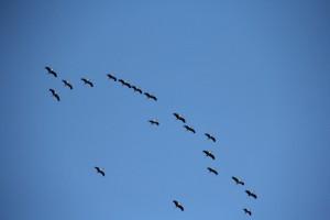 Wildgänse fliegen nach Süden - der Winter kommt